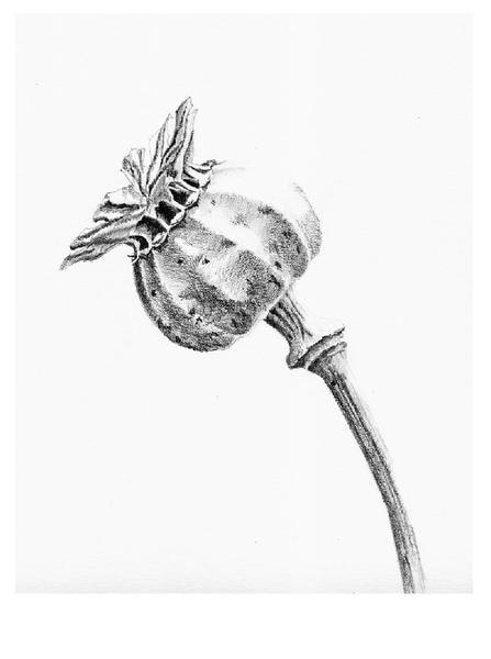 Opium Poppy seedhead.