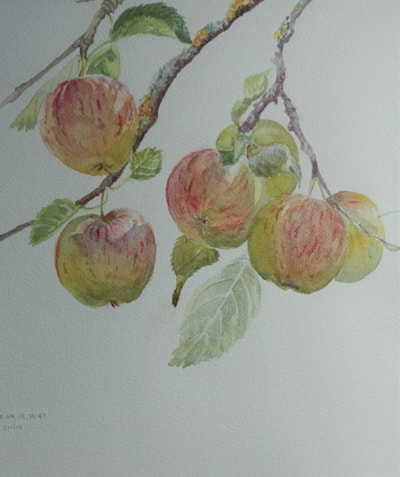 """Sunshine on the apples - watercolour 12"""" x 12"""""""