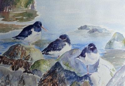 Resting oystercatchers