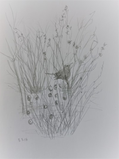 Five minute sketch - blackbird in the quince this morning