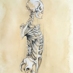 Skeletal torso muscles
