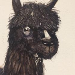 Alpaca from Wales