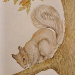 Grey Squirrell
