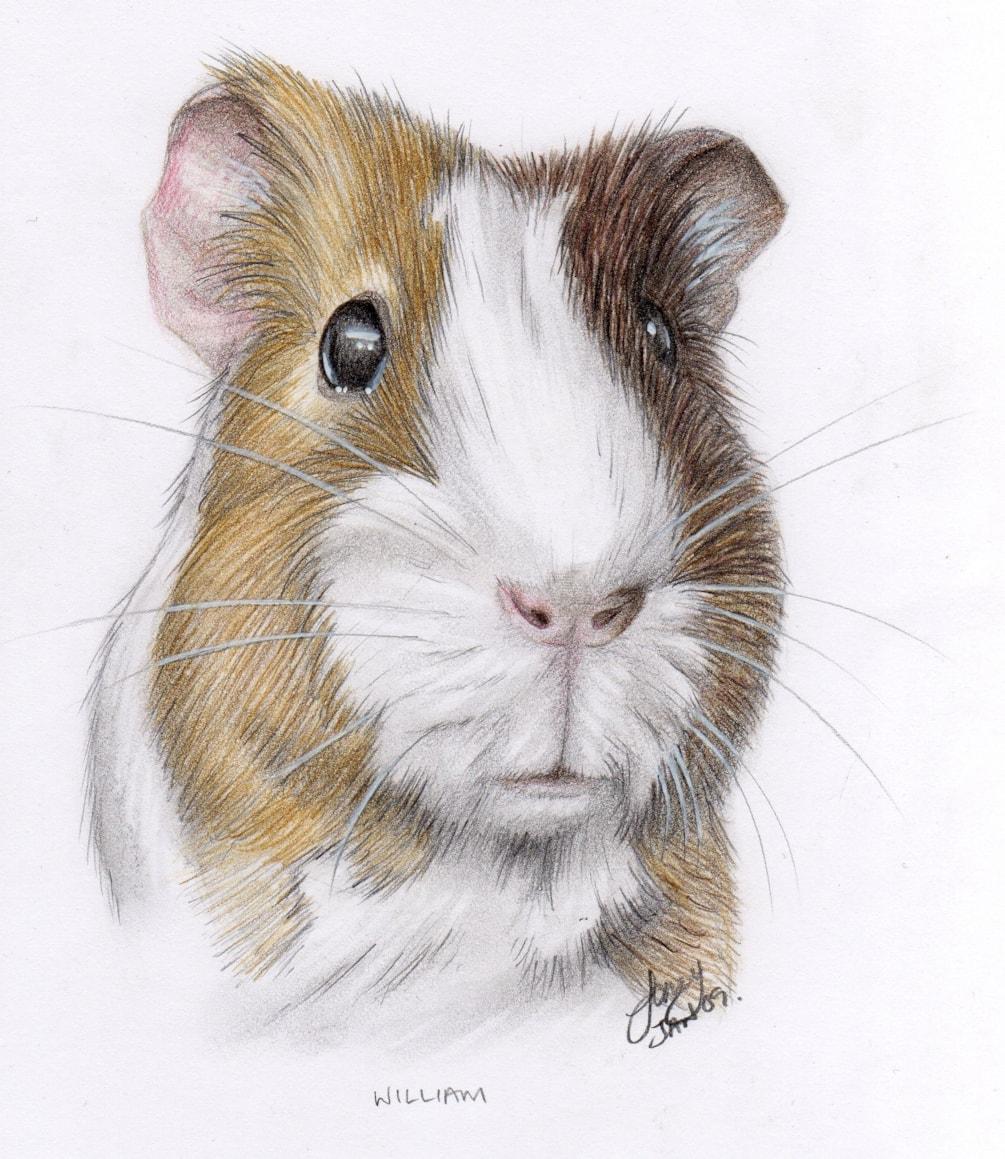 William the Guinea Pig 2009