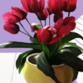 Tulips with Purple