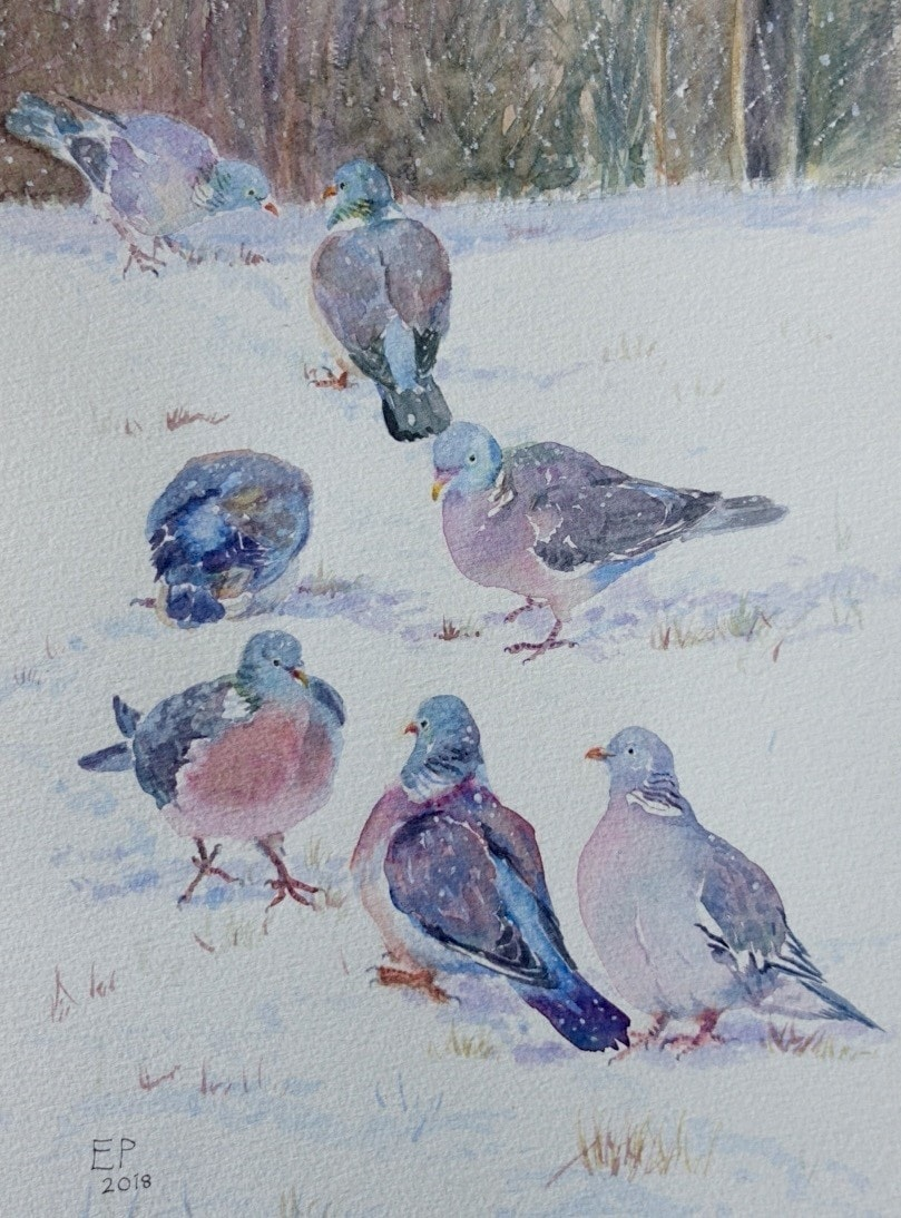 Wood pigeons in the snow
