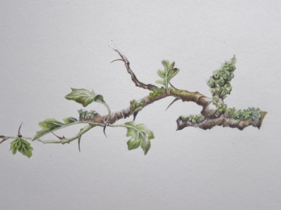 Hawthorne twig with lichen