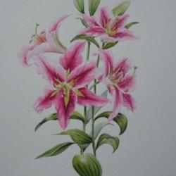 Pink Lily (Stargazer I think)