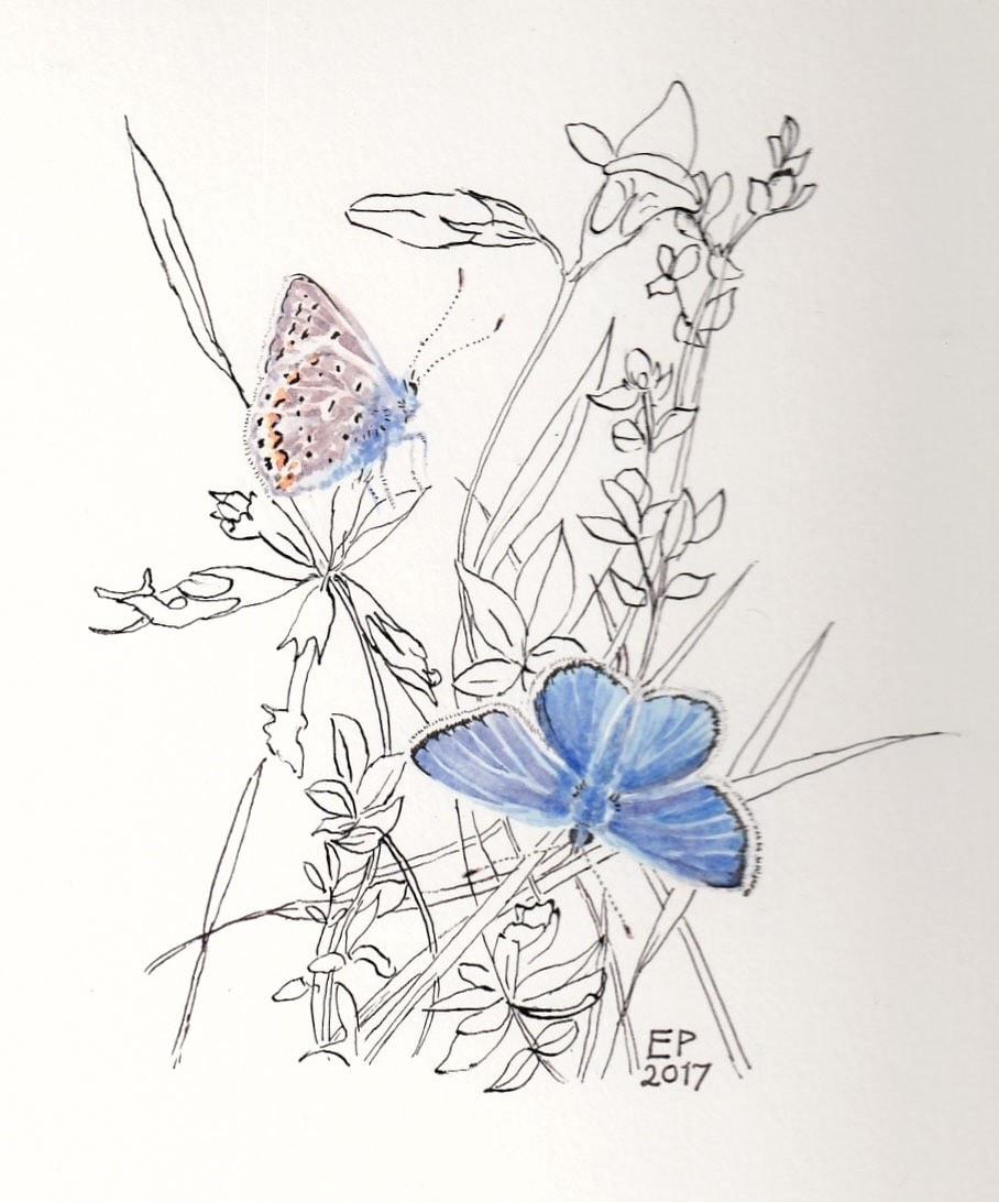 Common Blue butterflies, Bowesfield reserve.