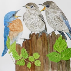 Three Eastern Bluebirds