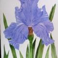 Iris for Bev