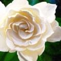 Magnolia Morn #1