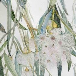 Eucalyptus Tease