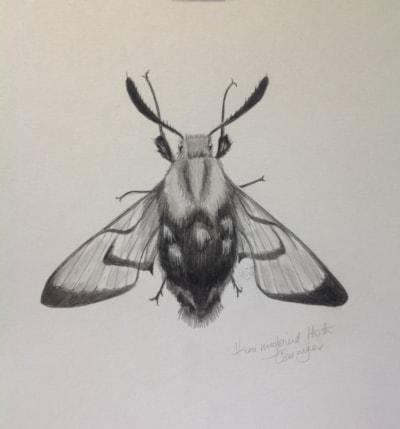 Hummingbird Moth or Bumblebee Moth