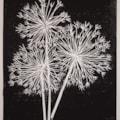Allium trio