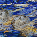 Otters in emerald sapphire gold water