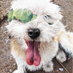 Wolfie - the leaf magnet!