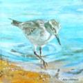 Sanderling in water