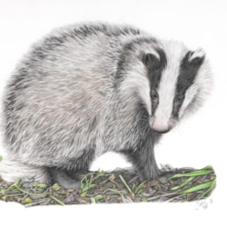 Badger - Coloured Pencil 2018