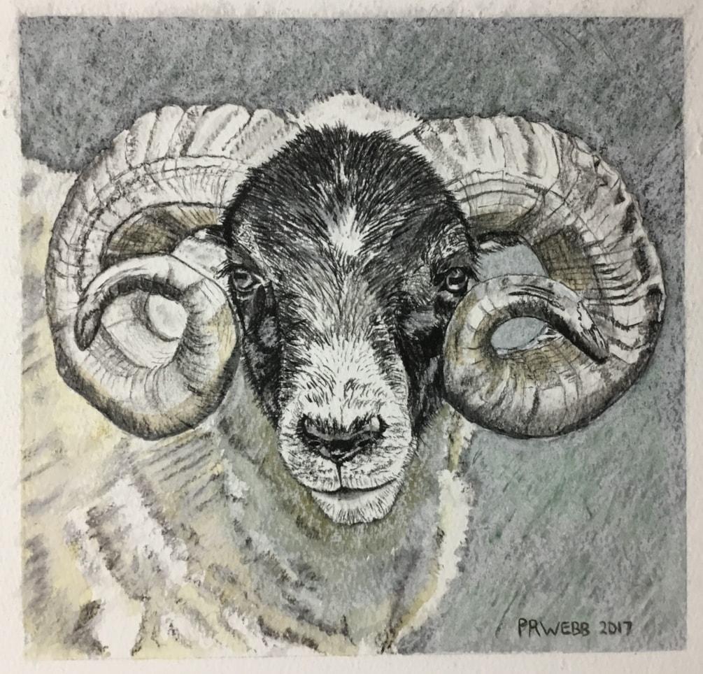 Orkney Ram