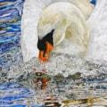 Swan in a temper