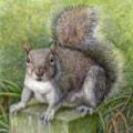 """""""Grey Squirrel"""""""