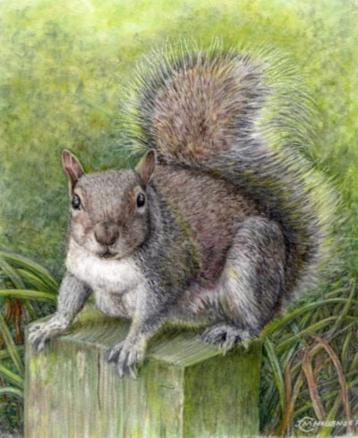 """Grey Squirrel"""