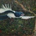 Noisey Juvenile Magpie.