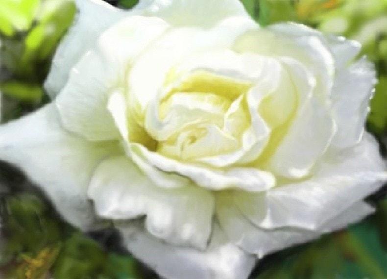 Rose, White & Bright