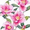 Camellias 2016