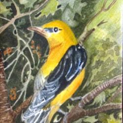 Golden Oriole N. American
