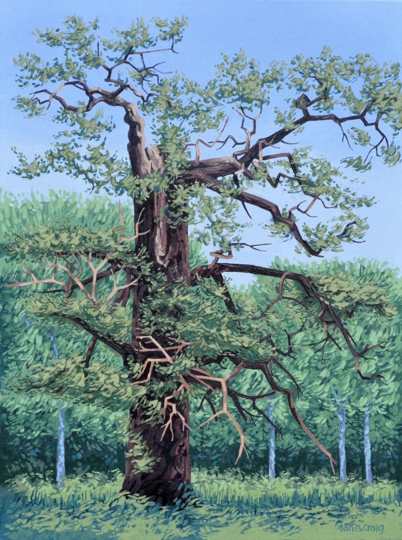 July Oak Tree, Sherwood Forest