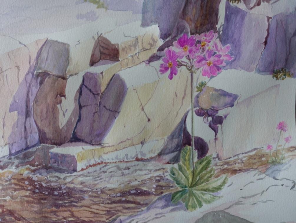 Birds-eye primrose, Teesdale