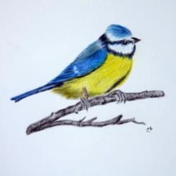 Tweety Pie (Blue Tit)