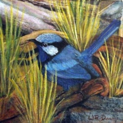 The West Australian Fairy Wren