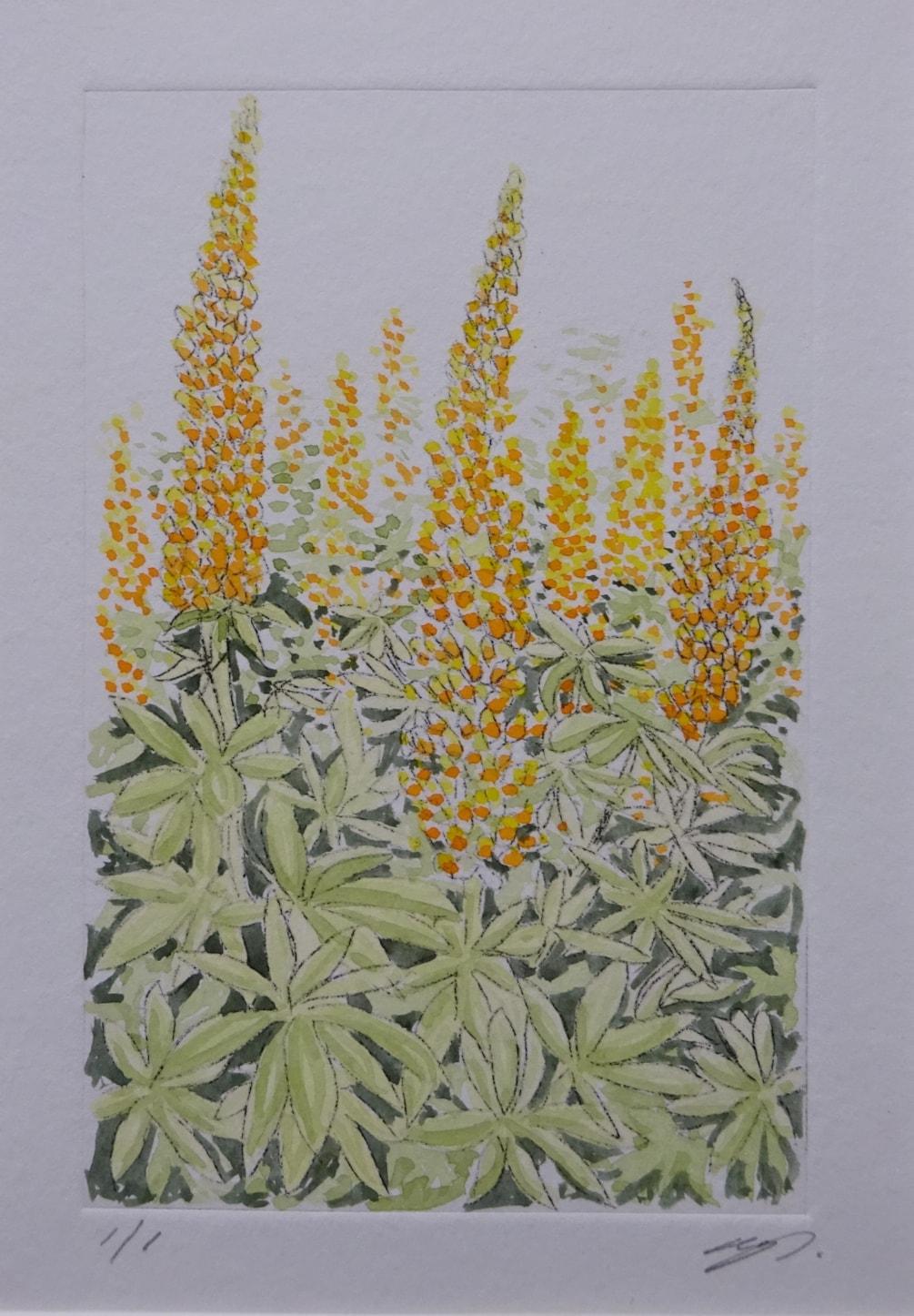 Cottage garden lupins - yellows