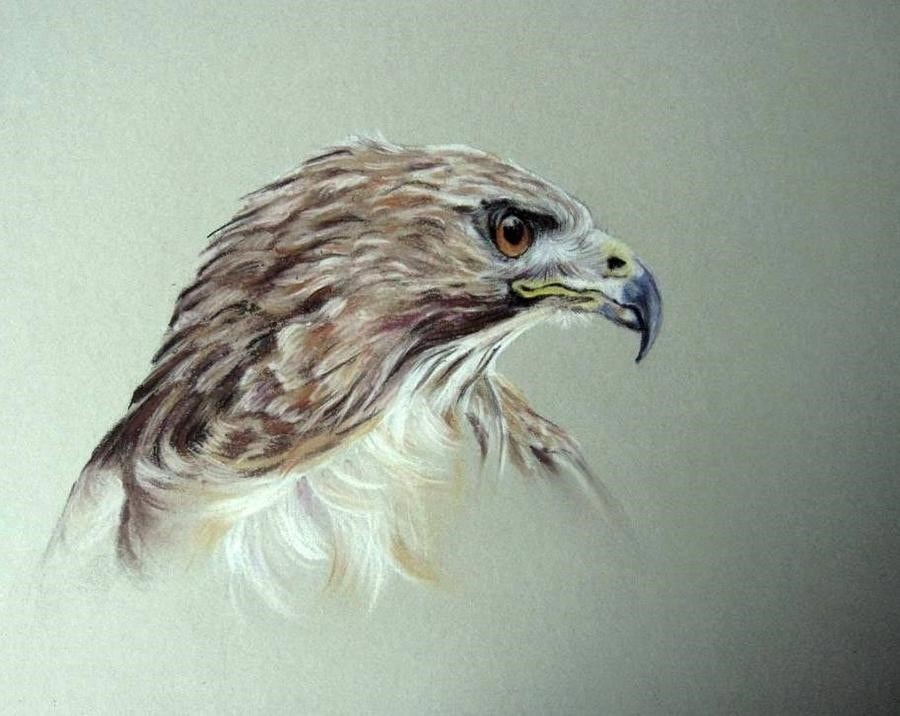 Tyson the Red Tailed Hawk