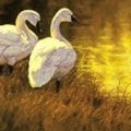 Swans on the Shore