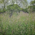 Great Willow Herb (Nr Trelleck)