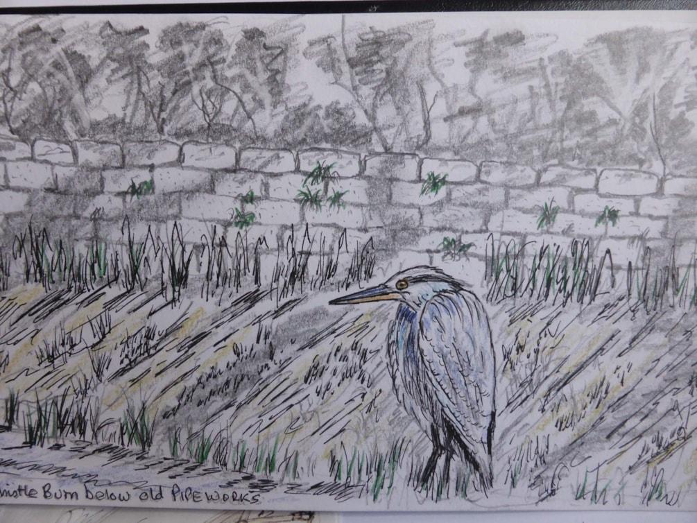 Young Heron Haltwhistle Burn, pen / coloured pencil sketch en plein air.