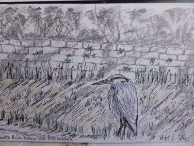 Young Heron Haltwhistle Burn, pen / coloured pencil sketch en plein air.