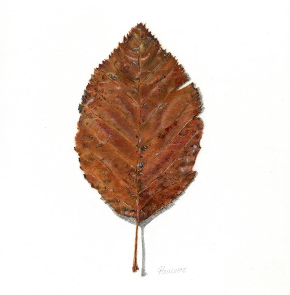 Goodrich Birch