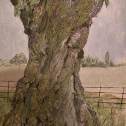 A 250 year old Oak tree in Stourhead Somerset