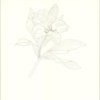 Alstroemeria 2020-09-27 - Pen