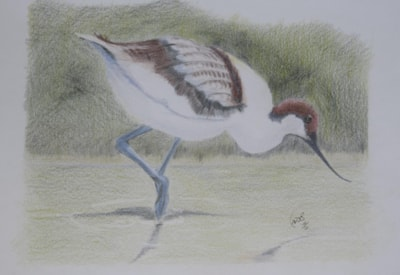 Avocet Original Painting