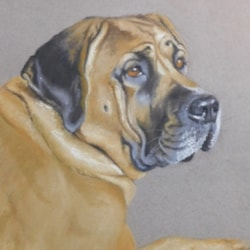 Beautiful Mastiff