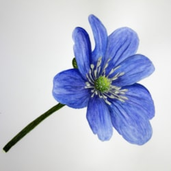 Blue Anemone MD 160520