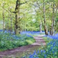 Bluebell path II