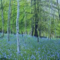 Bluebells Cuckoo Woods 2019