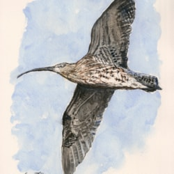 Curlew 2021-04-21 (Carl Bovis)
